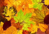 Lots of colorful autumn leaves background — Stock Photo