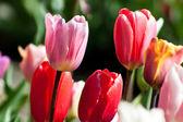 Tulips V4 — Stock Photo