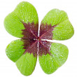 Stock Photo: Four-leaved cloverleaf