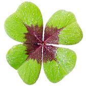 Four-leaved cloverleaf — Stock Photo