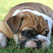 English Bulldog Pup Relaxing — Stock Photo #10349614