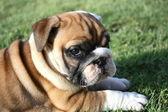 English Bulldog Pup Side View Facing Camera — Stock Photo