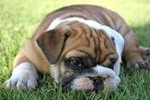 English Bulldog Pup Relaxing — Stock Photo