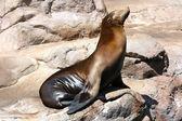 Harbor Seal Sunning on Rocks — Stock Photo