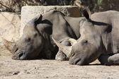 Two rhinoceroses — Stock Photo