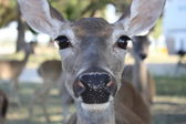 Deer close up — Stock Photo