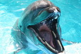 Dolphin out of water mouth open facing right — Stock Photo