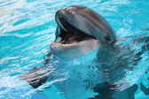 Dolphin out of water mouth open — Stock Photo