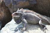 Iguana sunning on rock — Stock Photo