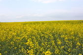 Yellow floral field — Stock Photo