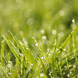 Green grass in a dew — Stock Photo #9614859
