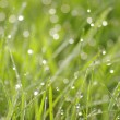 Green grass in a dew — Stock Photo