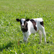 Stock Photo: The calf on a summer pasture
