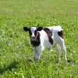 The calf on a summer pasture — Stock Photo #9614972