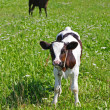 The calf on a summer pasture. — Stock Photo #9614977