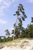 Pine near the Baltic sea — Stock Photo