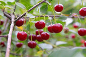 Red and sweet cherries on a branch — Stock Photo
