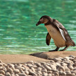 Humboldt Penguin Waddling Beside Green Water - Stock Photo