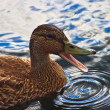 Quacking duck on the water - Stock Photo