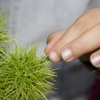 Touching round cactus — Stock Photo
