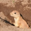 Prairie dog — Stock Photo #8938086