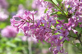 Beautiful Purple Lilac Blossoms — Stock Photo