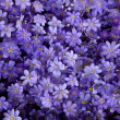 Purple flowers texture closeup — Stock Photo