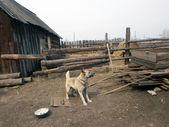 Pes na řetězu. — Stock fotografie