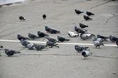 Pombos na calçada no vento. — Fotografia Stock