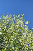 Florescimento azereiro-dos-árvore. — Foto Stock
