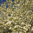 Stock Photo: Apple tree in bloom.