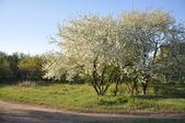 Blossoming apple trees in the park. — Stock Photo