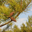 图库照片: Cones on a pine branch.
