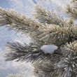 Stock Photo: Frost on the pine branch.