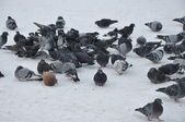 Pigeons. — Stock Photo
