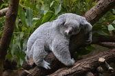 Koalabär — Foto Stock