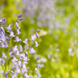 Native english bluebells — Stock Photo