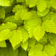 Beech leaves - Stock Photo