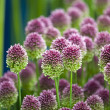 Allium sphaerocephalon — Stock Photo