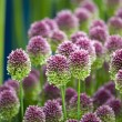 Stock Photo: Allium sphaerocephalon