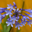 Stock Photo: Agapanthus 'dr brouwer'