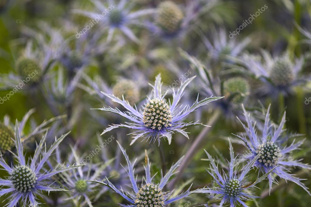 Eryngium 'cobalt star' — Stock Photo #9189521