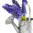 Muscari or grape hyacinth — Stock Photo