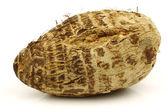 One fresh taro root (colocasia) — Stock Photo