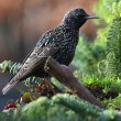 Stock Photo: Starling (sturnus vulgaris)