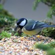 Great tit (Parus major) — Stock Photo