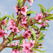 Peach flower — Stock Photo