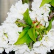 Cherry blossoms — Stockfoto