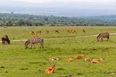 Gazelles and Zebras — Stock Photo