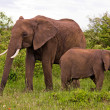 Two Elephants in Kenya — Stock Photo #10633046